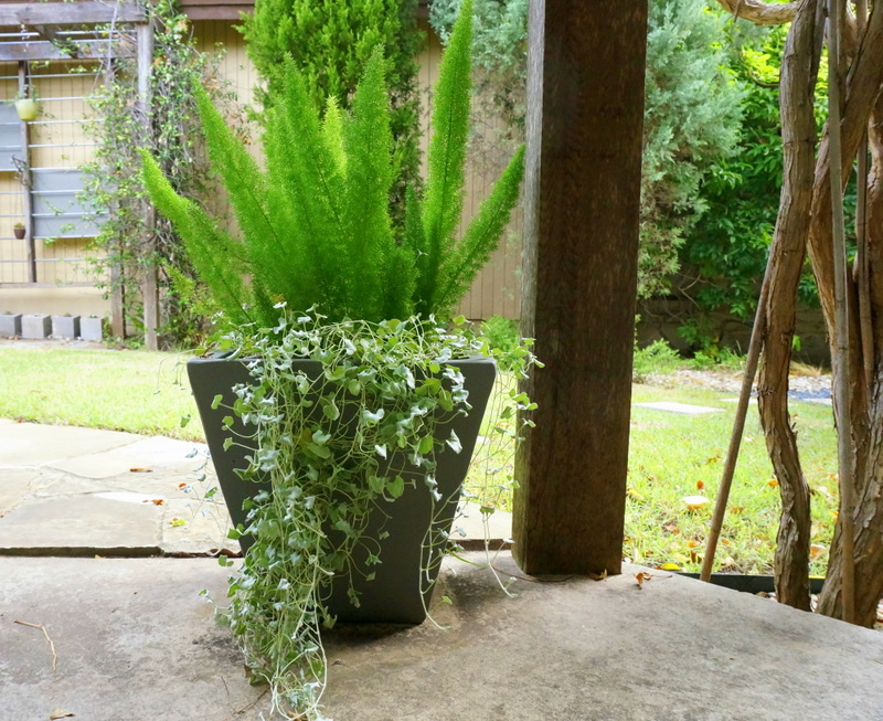 Cascading silver falls dichondra and foxtail fern