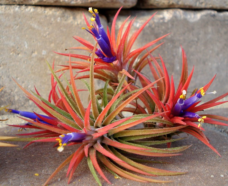 Iona air plants from Twisted Acres