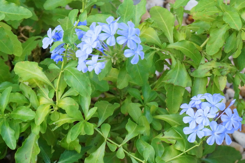 New blooms on a plumbago still recovering from winter's frost