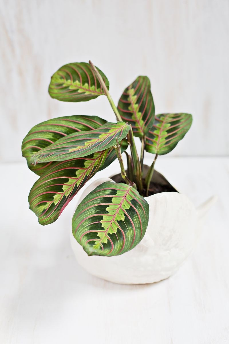 Prayer plant in a white pot
