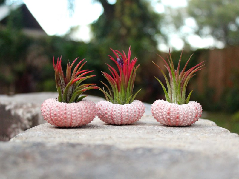 Sea urchin air plant kit from Air Plant Design Studio