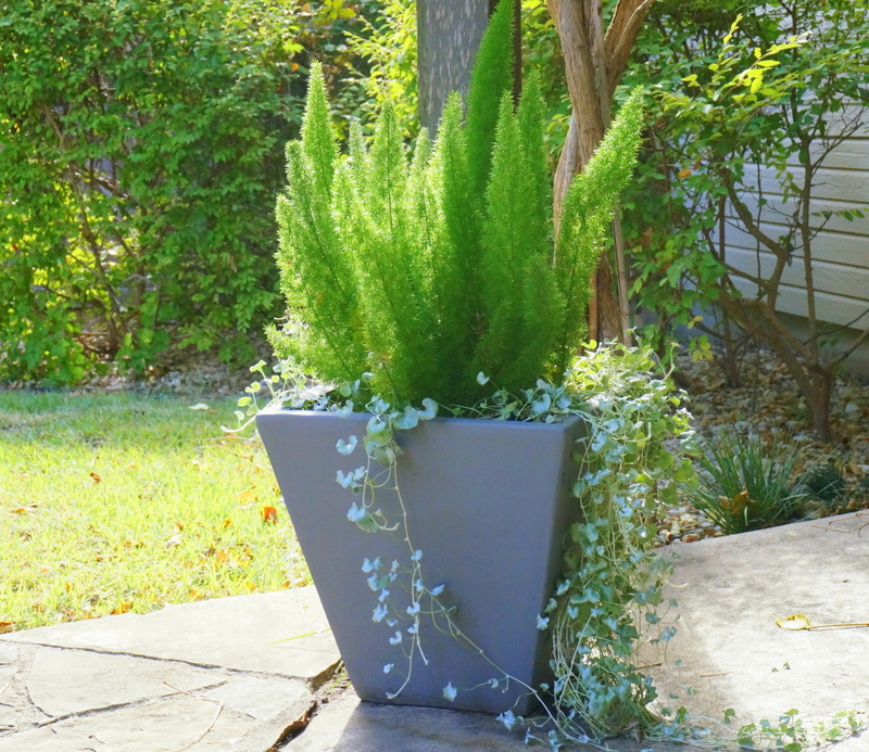 Silver falls dichondra and foxtail fern in a modern planter