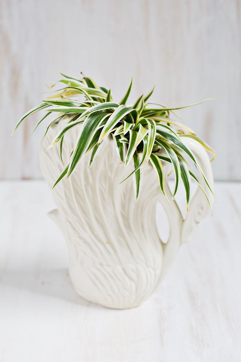 Spider plant in a swan planter