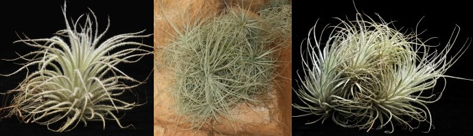 Tectorum for sale from Just Airplants Where To Buy Air Plants Online