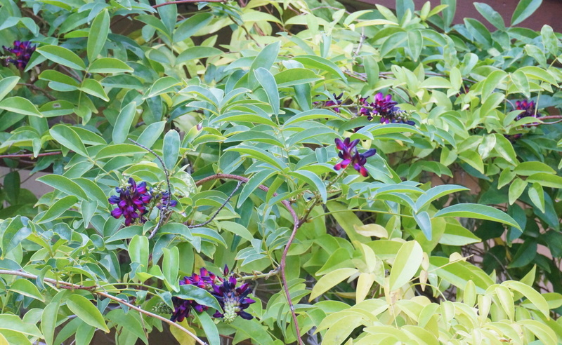 Vine blossoms in shades of violet End of Summer Garden Design Tips
