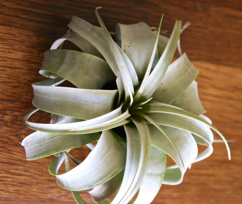 Xerographica air plant specimen from Etsy shop FlowerPowerNation
