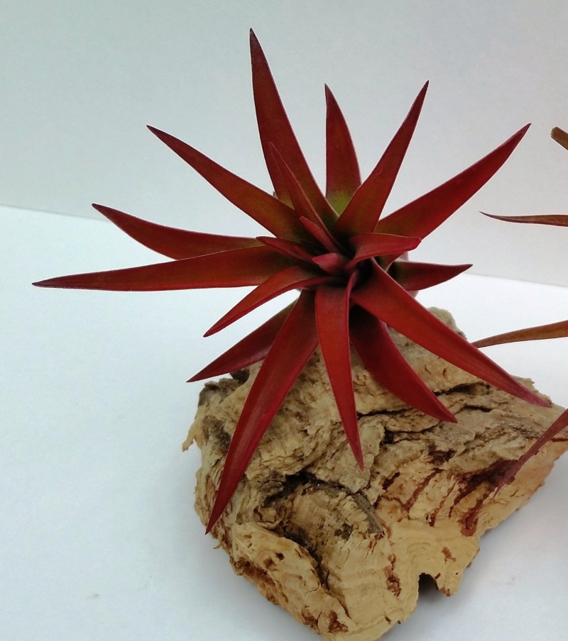 Air plant on cork bark