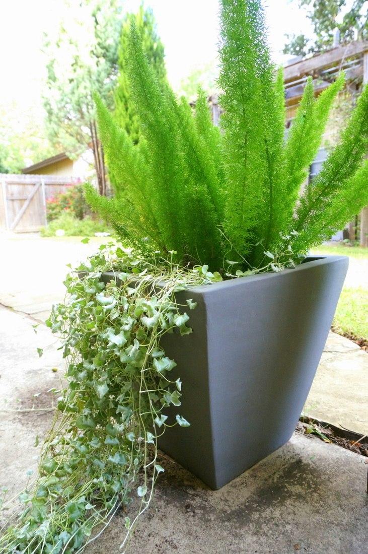 Asparagus fern and silver falls dichondra