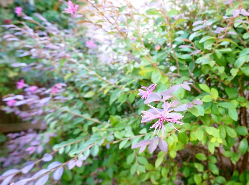 Loropetalum in bloom