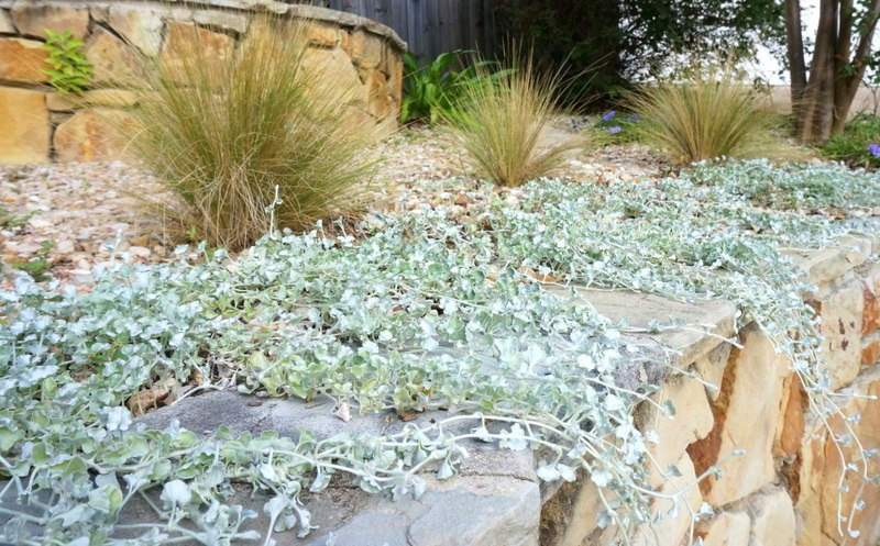 Mexican feather grass and cascading silver falls dichondra