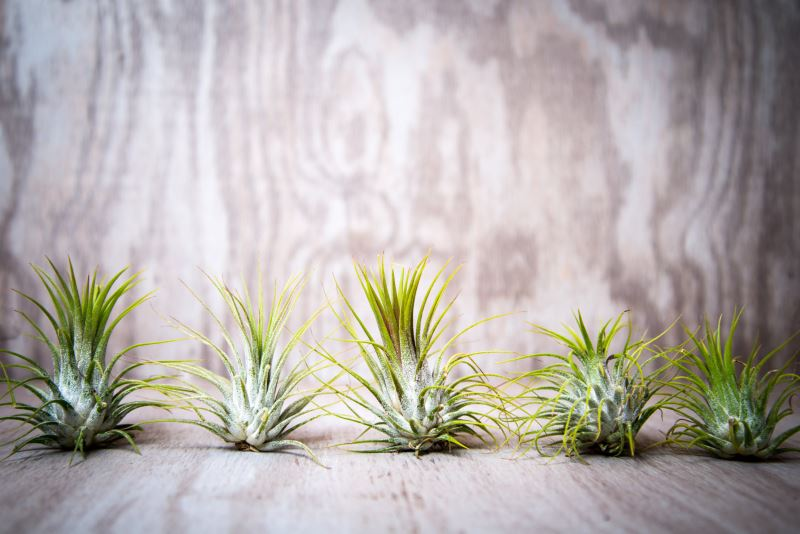 25 wholesale tillandsia from Etsy shop Hinterland Trading Enhance Your Interior with the Tillandsia Air Plant