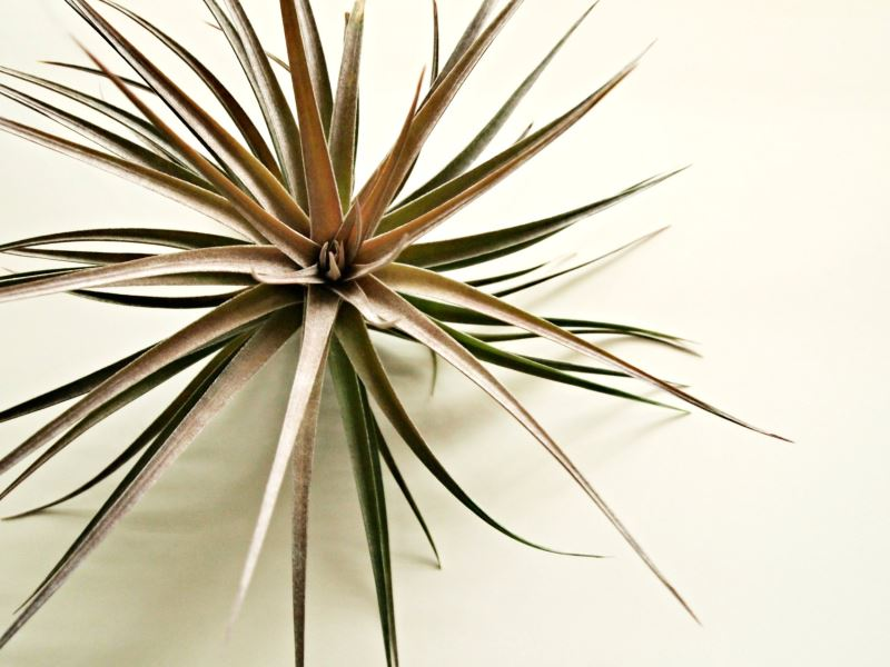 Large tillandsia air plant from Sea and Asters