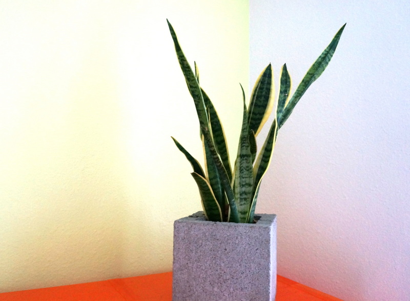 Snake plant in a concrete planter