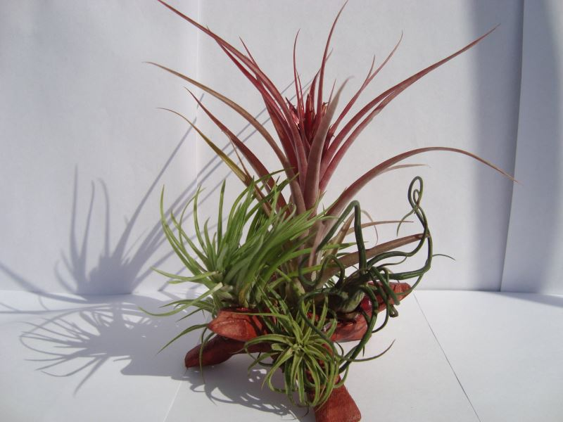 Wooden air plant display from 5Green Thumbs