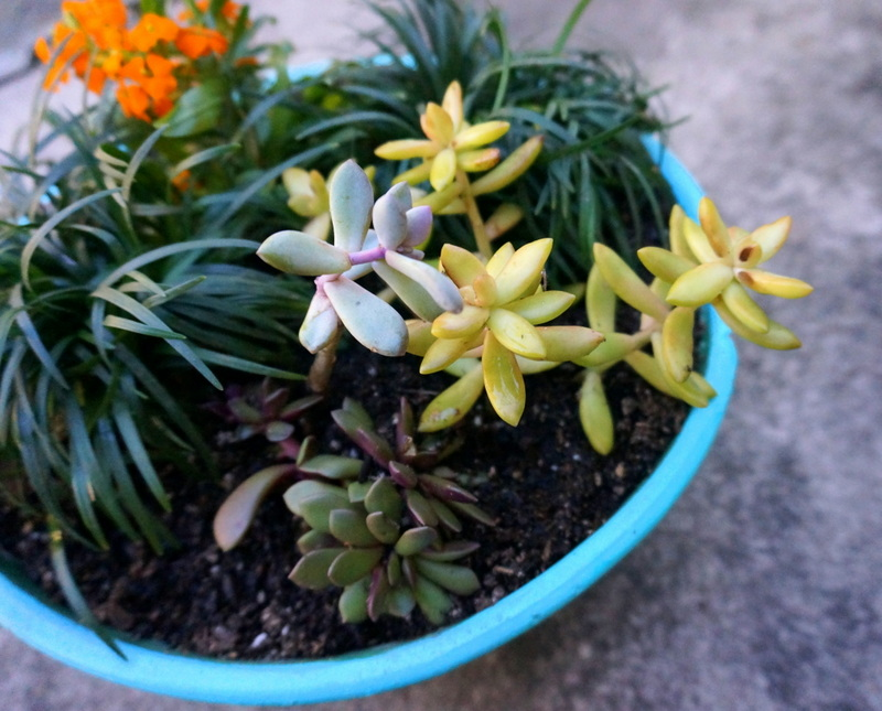 An assortment of succulents in a turquoise planter