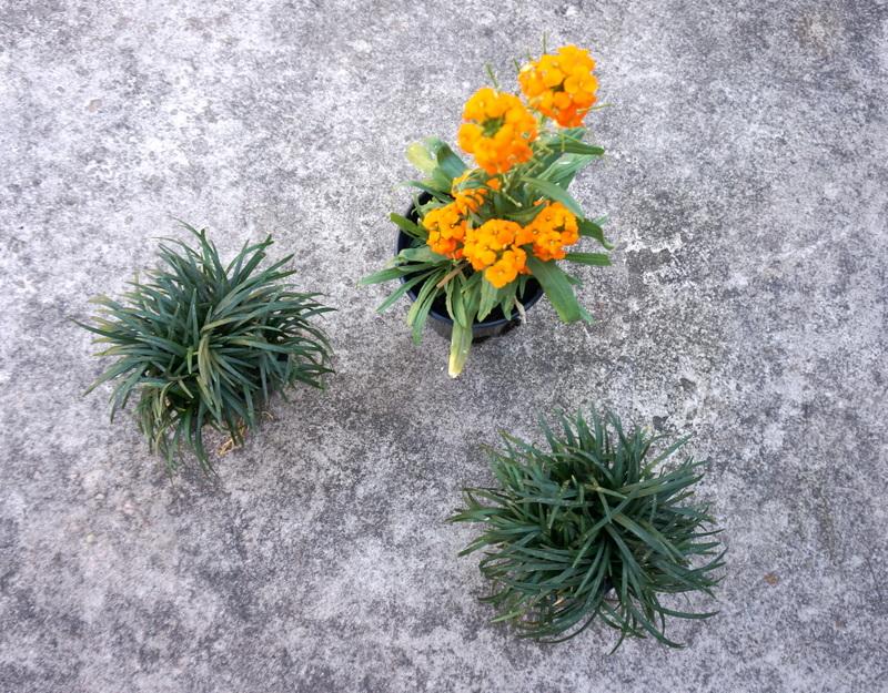 Erysimum and mondo grass