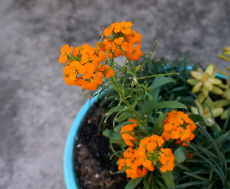 Erysimum in an outdoor planter