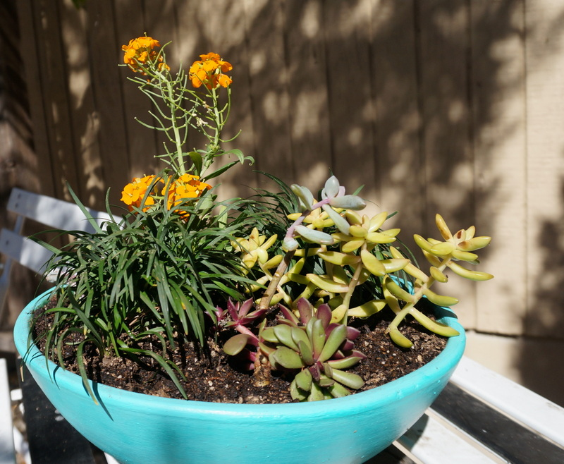 Planter with succulents, mondo grass and erysimum