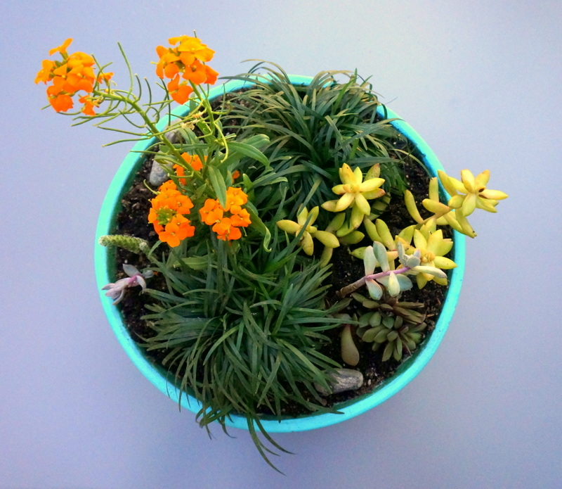 Turquoise planter with succulents and mondo grass
