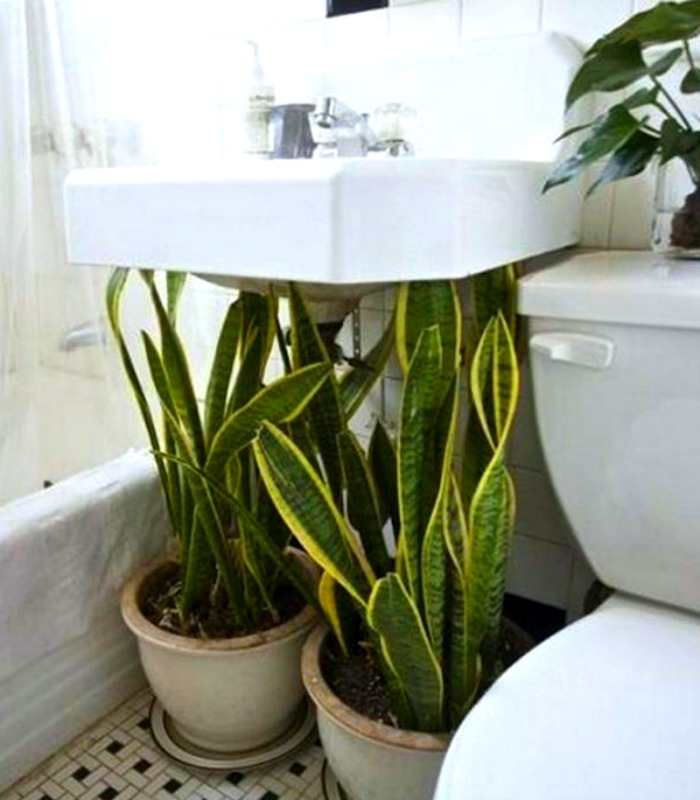 Mother-in-Law's Tongue plants cover up an ugly under-sink spot