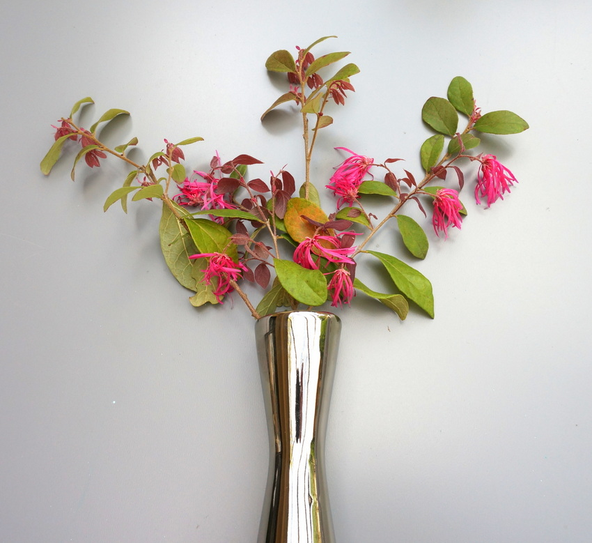 Arrangement of flowering Loropetalum