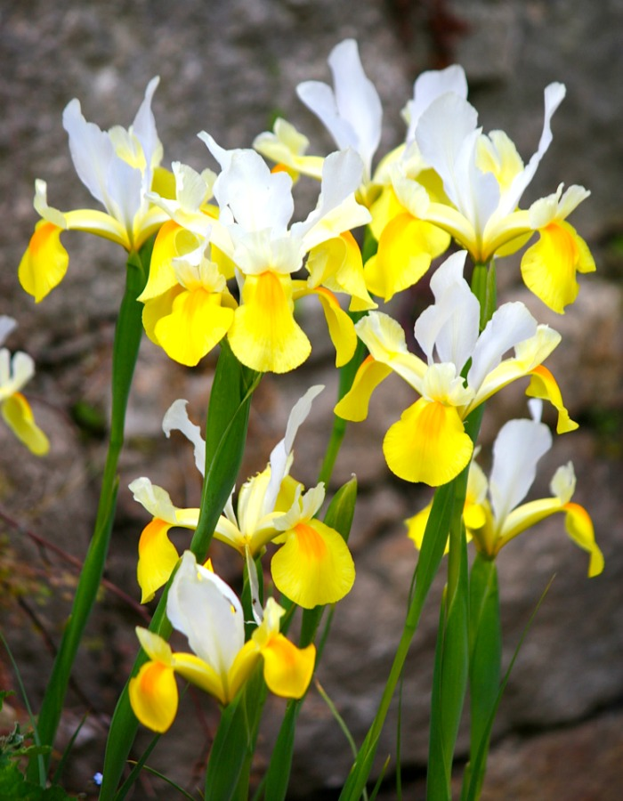 A delicate Dutch Iris