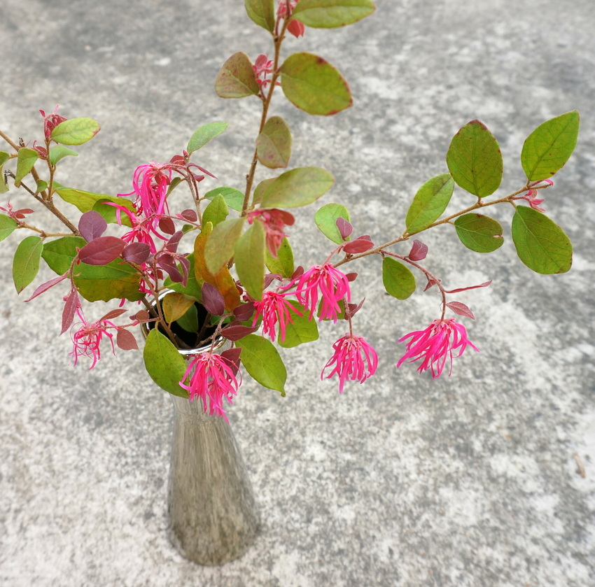 Flowering vase of Loropetalum