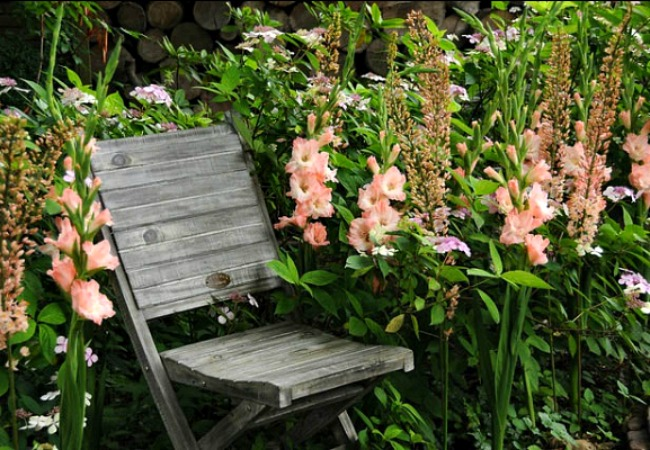 Light pink gladiolus in a border