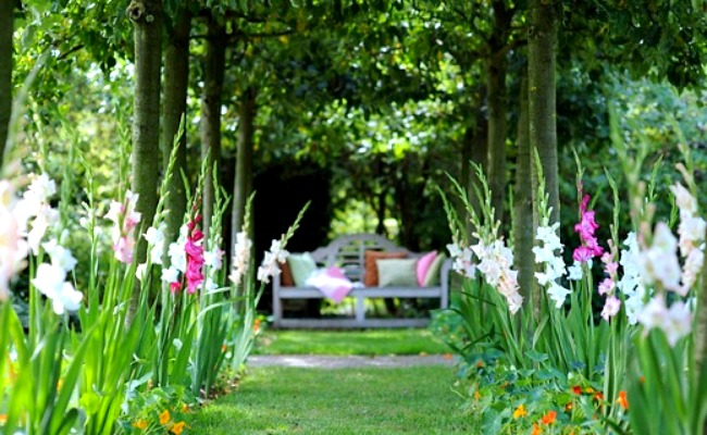 A pathway lined with gladiolus