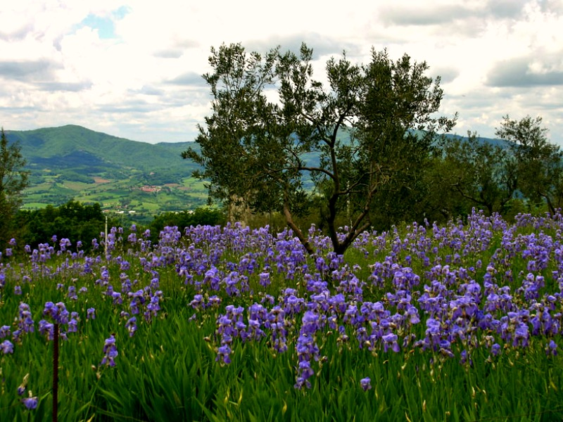 A field of Pallida Iris in Italy