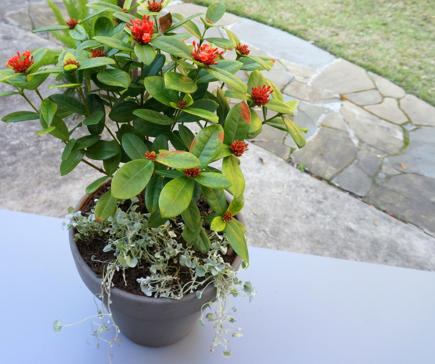 Ixora and Silver Falls Dichondra in a grey pot