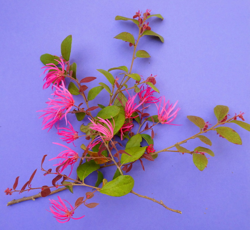 Loropetalum adds height to a floral arrangement