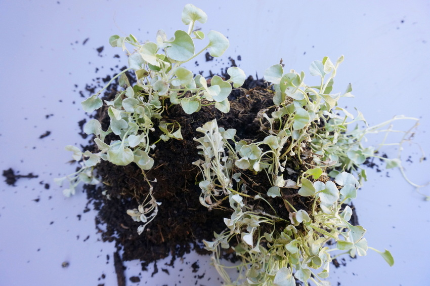 Silver Falls Dichondra ready to be planted