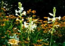 Tuberose in Garden 217x155 Spring Planted Bulbs: Plant These Beauties Now, Enjoy This Summer!