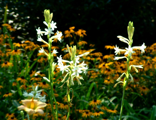 Tuberose in a garden with lilies behind it