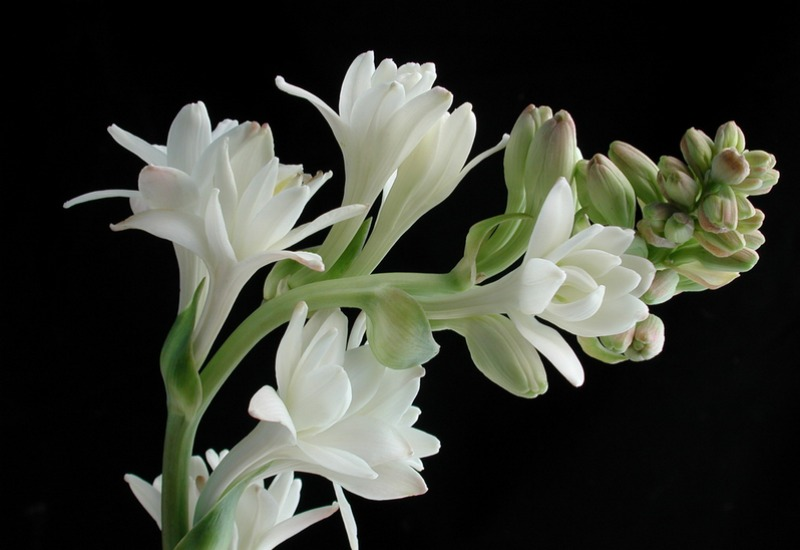 One can almost smell the scent wafting from this tuberose