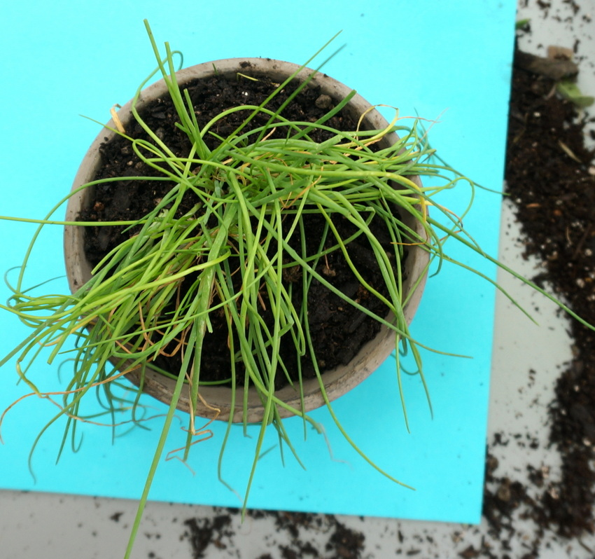 Chive plant in a pot