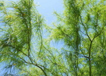 Green mesquite branches