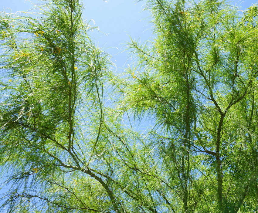Branches of a green wispy tree