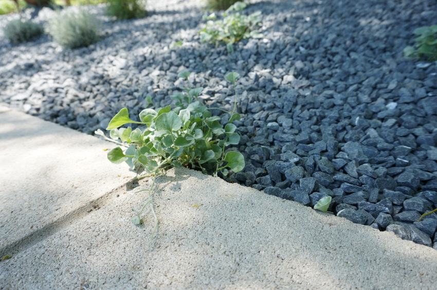 Silver-falls-dichondra-adds-a-cascading-touch