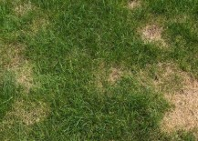 Chinch bugs can create problems for the lawn