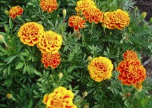 Marigolds are a natural mosquito repellent