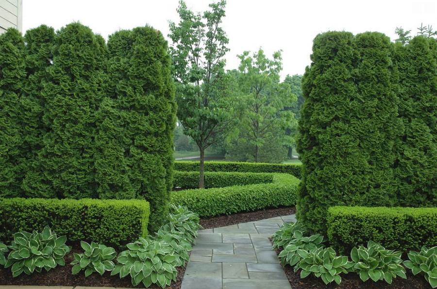 View in gallery Arborvitae and boxwood in a manicured garden