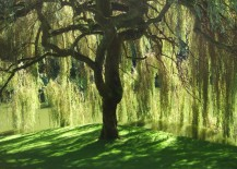 Beautiful weeping willow tree