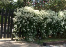 Clematis is a popular vine selection