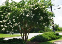 Fast growing Crape Myrtle with white blooms 217x155 Fast Growing Shade Trees That Make a Statement