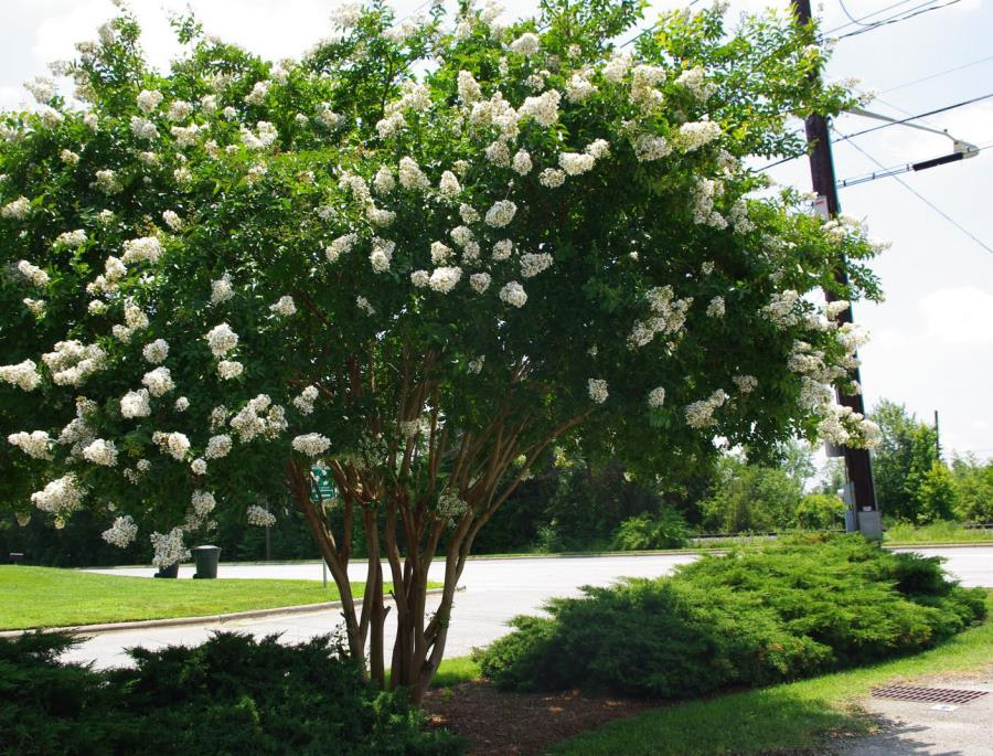 Fast-growing Crape Myrtle with white blooms