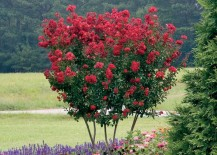 Fast growing red rocked Crape Myrtle 217x155 Fast Growing Shade Trees That Make a Statement