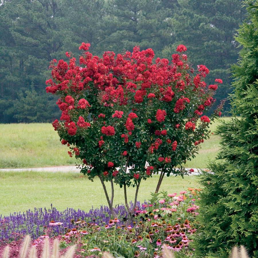 Fast growing shade trees that make a statement for Fast growing trees