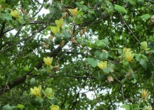 Foliage from the Tuliptree